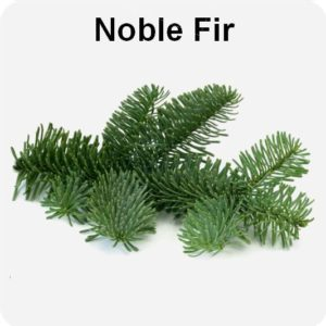 Noble Fir Foliage