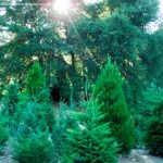 Wide variety of Christmas Trees